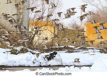 flock of sparrows flying through the dump