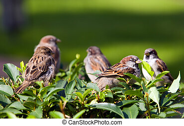 flock of sparrows on a green bush
