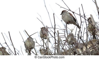 Flock of sparrows sitting on bush.