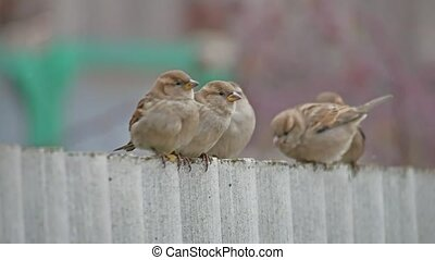 flock of sparrows sitting on the fence, winter birds cold, blurred background