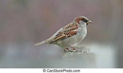 flock of sparrows sitting on the fence, winter cold, birds blurred background