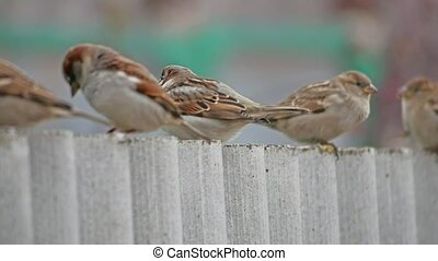 flock of sparrows sitting on the fence, winter cold, blurred background birds