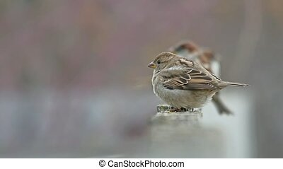 flock of sparrows sitting on the fence, winter cold, blurred birds background