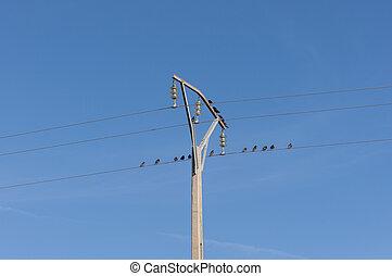 Flock of Spotless Starling