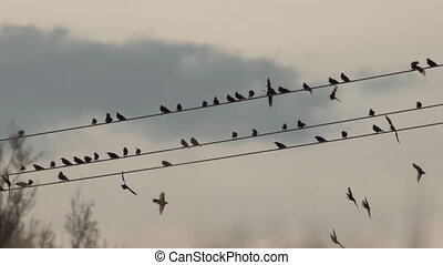 Flock of starling birds left power cable at dusk - Flock of...
