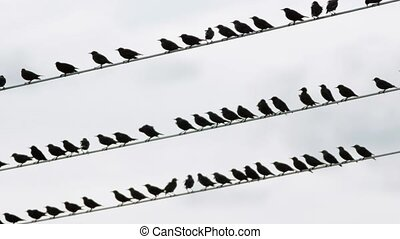 Flock of starling birds over high-volgate cable and shallow...