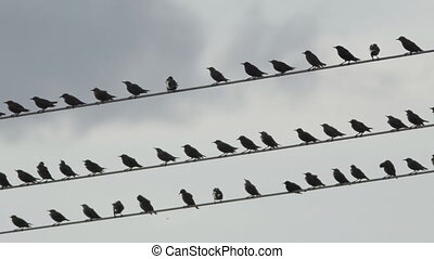 Flock of starling birds over high-volgate cable at dusk