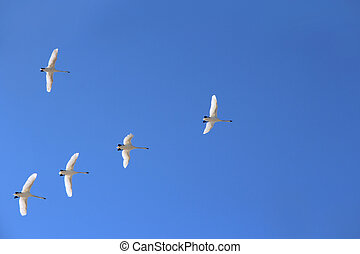 Flock of swans flying through blue sky. Migratory birds fly in the clear sky