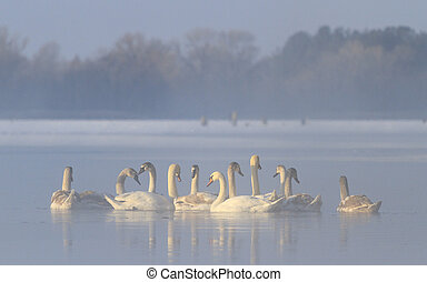 flock of swans in the hole