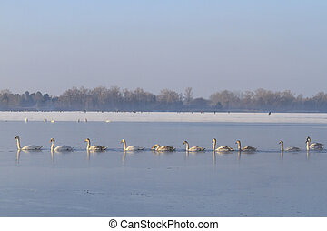 flock of swans in the ranks