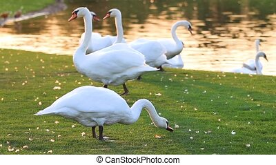 flock of swans on the lake nibbling grass, breath of autumn