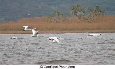 flock of swans quickly flies on the river , wild nature