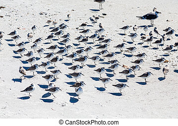 Flock of Terns on Beach