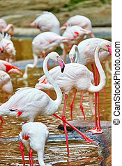 Flock of the Pink flamingo in nature (Phoenicopterus...