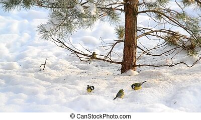 flock of titmice eating sunflower seeds on snow under a tree...