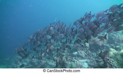 Flock of tropical fish on reef in search of food.