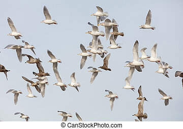 flock of various species of Gulls in flight