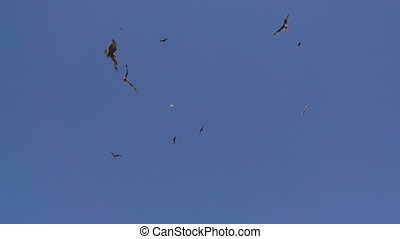 Flock of vultures catches prey on the fly