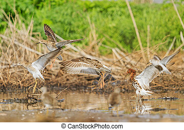 flock of waders Ruffs sit on the lake