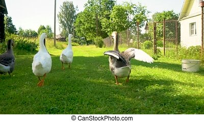 Flock of white and brown geese on the pasture. Domestic geese on the farm. Livestock in the village.