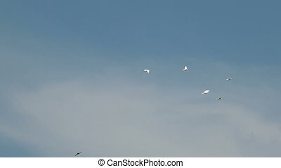 Flock of white decorative pigeons flying in clear blue sky. White dove - symbol of peace.
