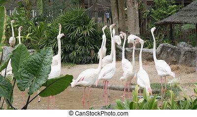 Flock of white flamingos walks on a pond - A flock of white...