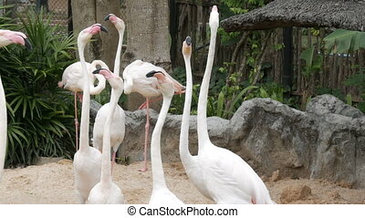 Flock of white flamingos walks on a pond in the zoo - A...