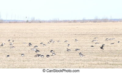 flock of white-fronted geese feeding in stubble field. -...