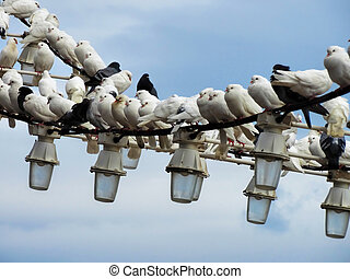 Flock of white pigeons on wire