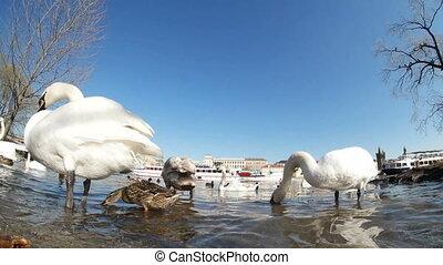 Flock of white swans on the Vltava river bank in Prague in...