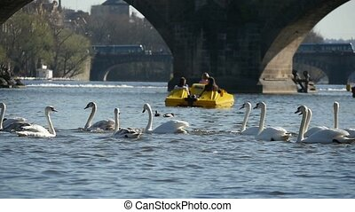 Flock of white swans swimming near the Charles bridge in Prague in slow motion