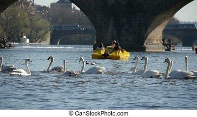 Flock of white swans swimming near the Charles bridge in Prague in slow motion
