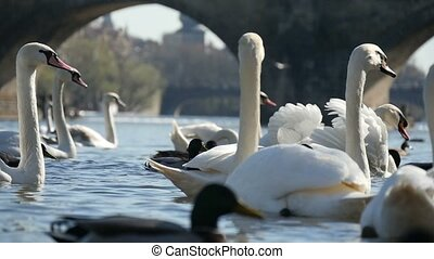 Flock of white swans swimming not far from the Charles bridge in slow motion