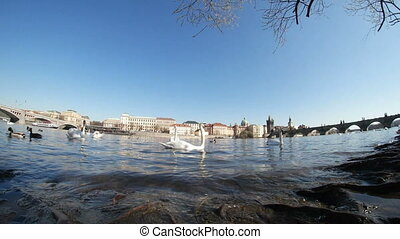 Flock of white swans swimming together on the Vltava river in Prague in spring