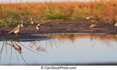 flock of white wagtail on field watering