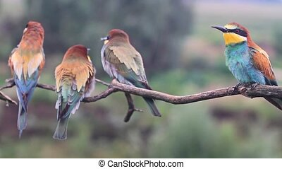 flock of wild birds colored bee-eaters , wildlife and beautiful colors