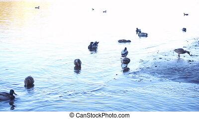 Flock of wild ducks on the beach