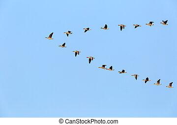 flock of wild geese flying