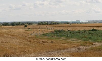 Flock of wild pigeons flying over cutted wheat field. Slow...