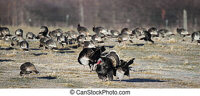 Flock of wild turkeys - A flock of wild turkeys with a...