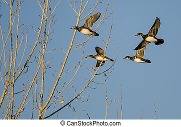 Flock of Wood Ducks Flying Low Over the Autumn Trees