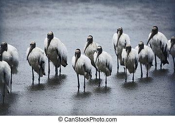 Flock of Wood Storks in rainy morning, standing like...