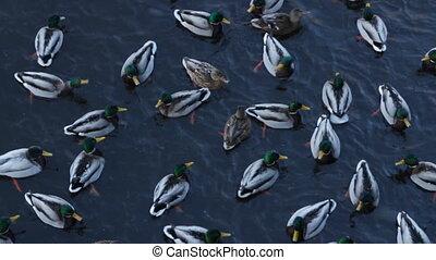 Flock wild ducks winter in cold water, top view