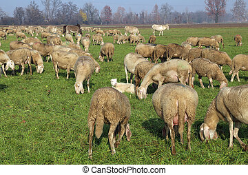 Flock with sheep grazing in the meadow