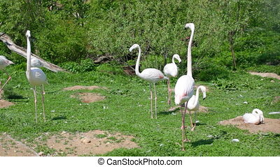 Flocks of flamingo are fed on a green lawn