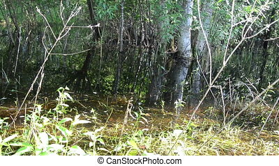 flood grove - flooded water birch grove sunny summer day