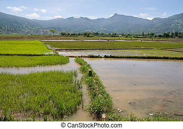 Flooded Rice Paddy ready for planting