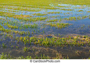 Flooded rice plantation, wide angle top view