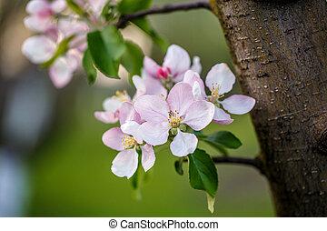 flor, árvore, maçã
