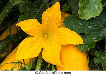 flor, abobrinha amarela